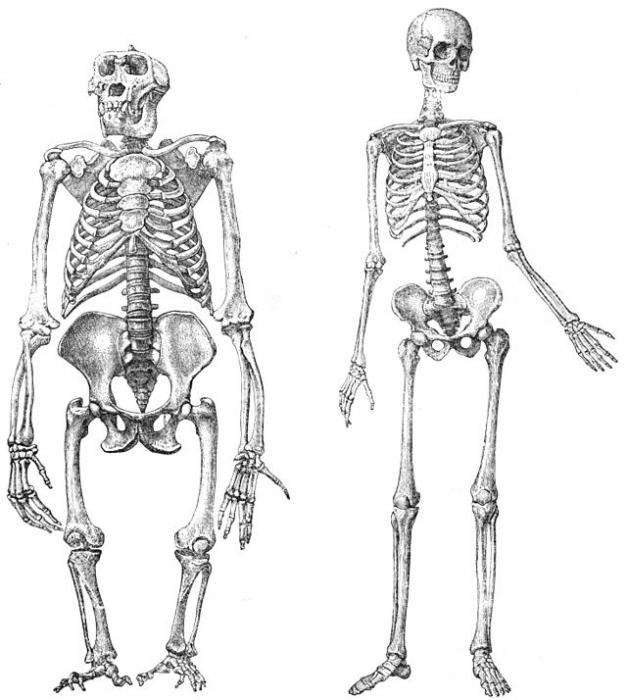 skeleton of the lower limbs of man